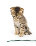 Kitten looking at yarn poster