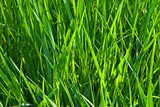 long fresh green grass