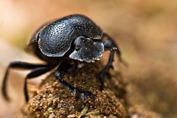gofer beetle