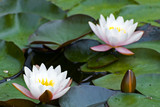 White Yellow waterlily Lotus