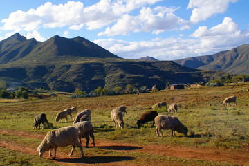 Sheep's heard in Lesotho, Southern Africa