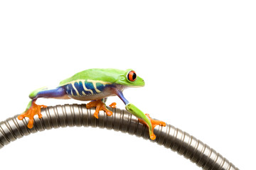 frog climbing on tube isolated white