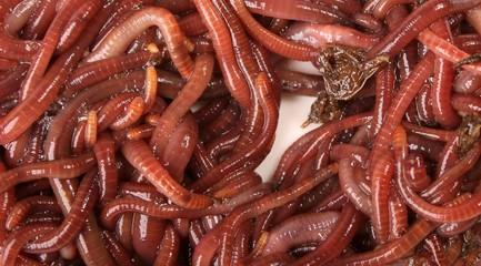 Earthworm Macro