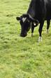 Kuh Herzchen