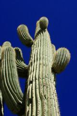 Ancient Saguaro (Carnegiea gigantea)