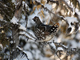 Spruce Grouse poster