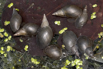 great pond snails