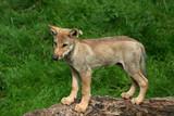 kleiner Wolf poster