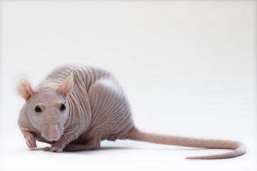 Amusing hairless rat