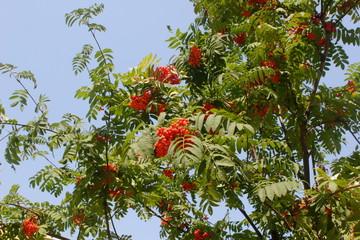 Ashberry, Sorbus aucuparia