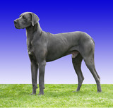 Great Dane with clipping path poster