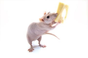 Amusing hairless rat with cheese