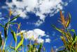 Фото со стока - Поле фермы с выращивания кукурузы в голубое небо.