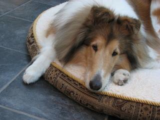 Collie Dog on Dog Bed