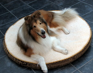 Collie Dog on Dog Bed
