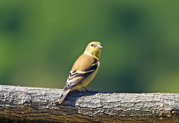 American Goldfinch perched on a log.