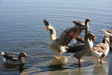 Geese in water poster