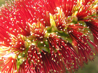 beautiful bottlebrush closeup
