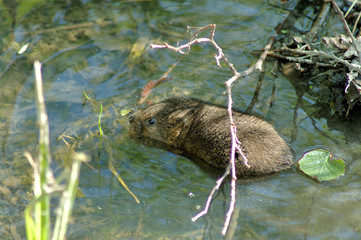 water vole swimming