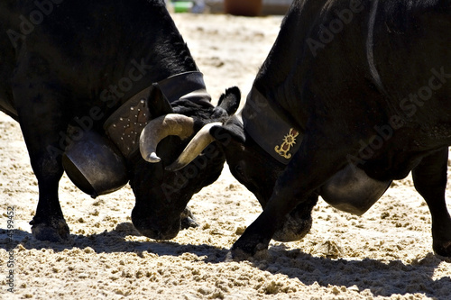 Cows fight