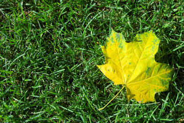 Single yellow maple leaf  lying on  green grass