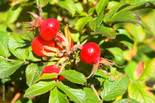 closeup view berries and leaves of wild dog rose