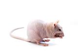 sphinx hairless rat poster
