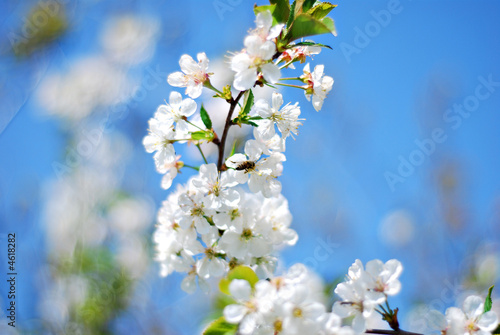Foto op Canvas Madeliefjes white blossom flowers on blue sky