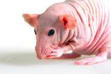 Naked rat poster