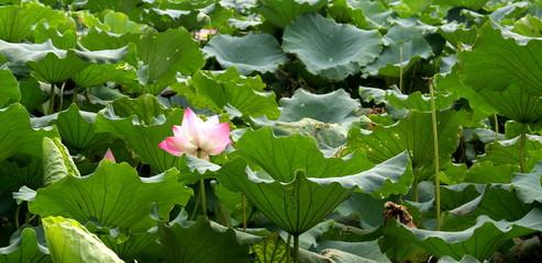 Fleur de lotus, Lac Hangzhou, Chine