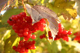 Cluster of berries of a guelder-rose red poster