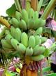 bananes à un bananier