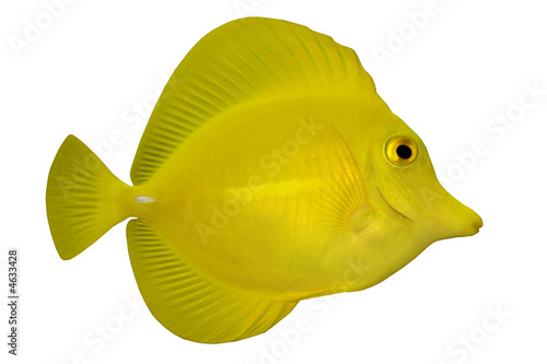 Tropical Fish Zebrasoma flavescens isolated on white
