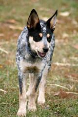 Heeler Pup 17