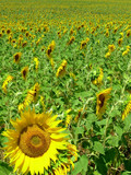 Sunflower in the region alentejo portugal. poster