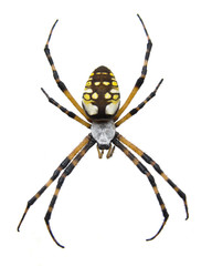 Garden Spider-Isolated
