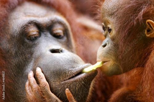 Poster Aap Orangutans