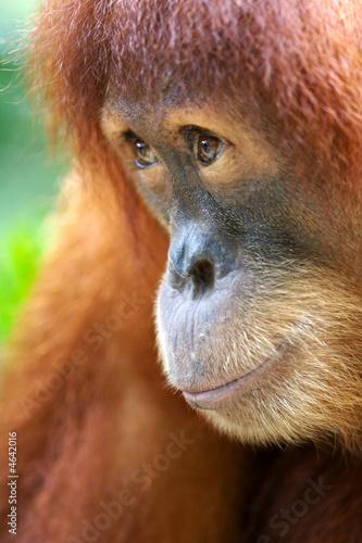 Foto op Canvas Aap Orangutans