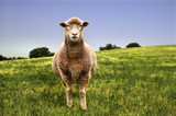 Contrasting image of sheep in a field poster