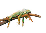 Lazy guana lying on branch isolated in white