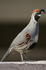 Valley Quail Standing Tall