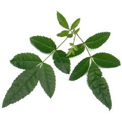 """feuilles du faux poivrier """"baies roses"""""""