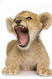 Fototapety Lion Cub (3 months)