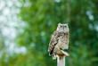 beautiful Eagle Owl