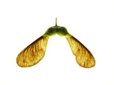 maple seeds - 4656605