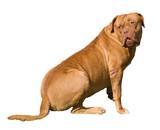 Mastiff female dog looks back puzzled poster