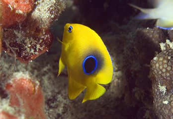 Juvenile Rock Beauty, Holacanthus tricolor