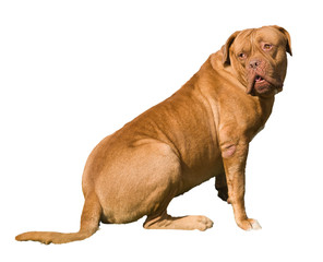 Mastiff female dog looks back puzzled