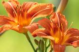 Vibrant orange American lilies in garden poster