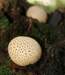 Fungi,macro,Common Earthball